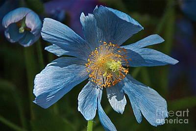 Photograph - Rare Himalayan Blue Poppies by Byron Varvarigos