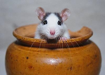 Rat Original