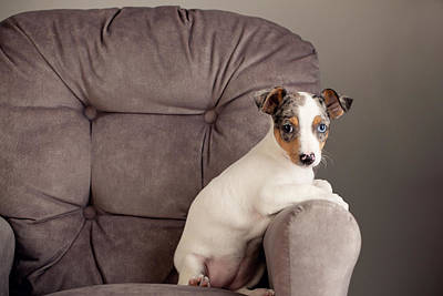 Y120831 Photograph - Rat Terrier by Jessica Nelson