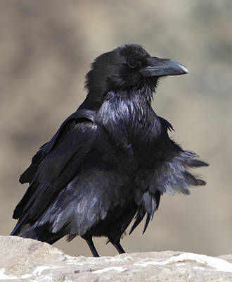 Photograph - Raven In The Wind by Gregory Scott