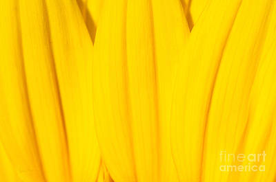 Photograph - Rays Of Sunflower by Luke Moore