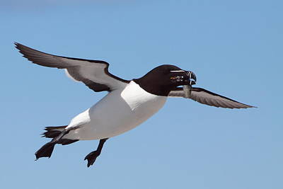 Razorbill Wall Art - Photograph - Razorbill In Flight by Bruce J Robinson