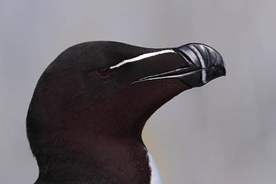 Razorbill Photograph - Razorbill Portrait by Bruce J Robinson