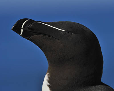 Razorbill Wall Art - Photograph - Razorbill Portrait by Tony Beck