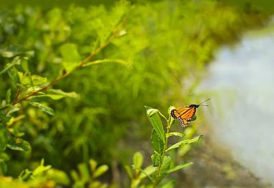 Photograph - Ready Set Go Viceroy Butterfly by Marianne Campolongo