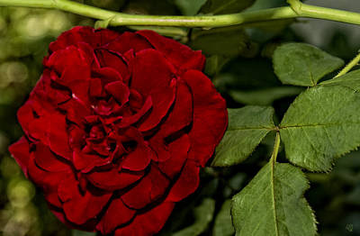 Photograph - Really Red Rose by Barbara Middleton