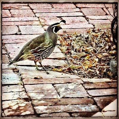 Patio Photograph - Rear Guard #quail #californiaquail by Cynthia Post
