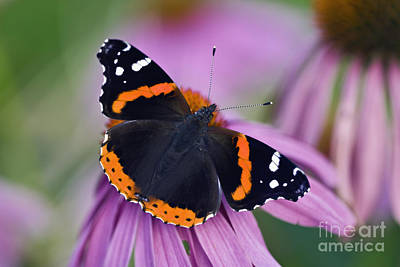 Photograph - Red Admiral - D007656 by Daniel Dempster