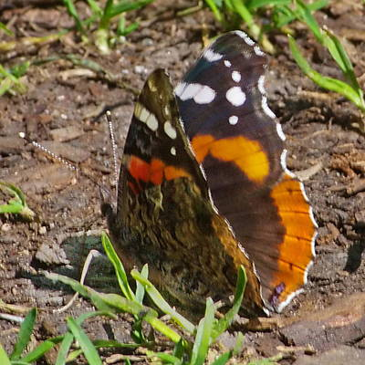 Photograph - Red Admiral Butterfly by Ansel Price