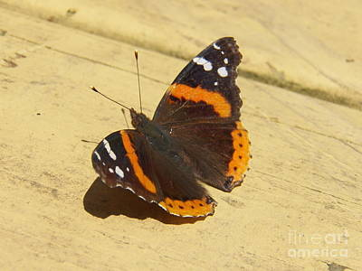 Painting - Red Admiral Butterfly by Judy Via-Wolff