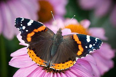 Photograph - Red Admiral by Craig Leaper