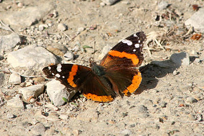 Photograph - Red Admiral by Mark J Seefeldt