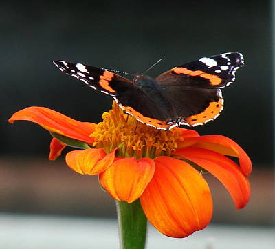 Red Admiral Art Print by Nicola Butt
