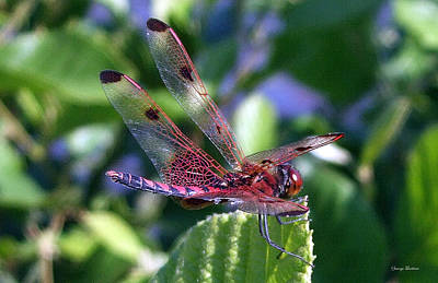 Art Print featuring the photograph Red And Black Dragonfly by George Bostian