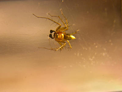 Travel Rights Managed Images - Red and gold spider Oxyopes lynx 3 Royalty-Free Image by Douglas Barnett