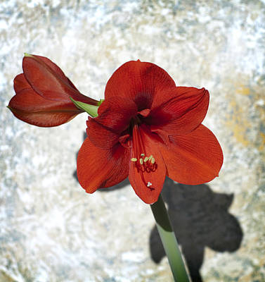 Photograph - Red And Green Bloom by Al Hurley