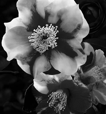 Red And White Camellia Original