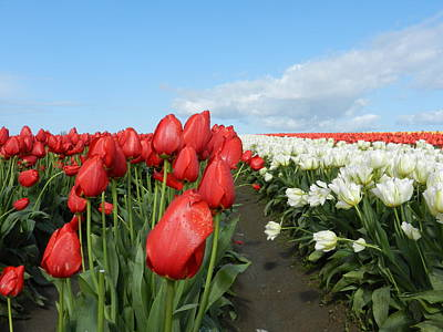 Art Print featuring the photograph Red And White Tulips by Karen Molenaar Terrell