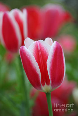 Photograph - Red And White Tulips by Nicholas Burningham