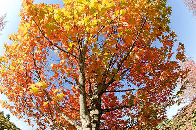 Photograph - Red And Yellow Autumn Tree by Margaret Pitcher