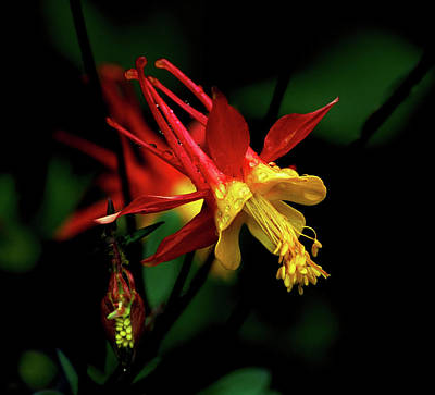 Red And Yellow Columbine Art Print