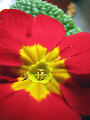 Photograph - Red And Yellow Primrose by Chris Anderson