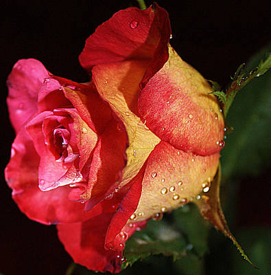 Photograph - Red And Yellow Rose by Sheila Kay McIntyre