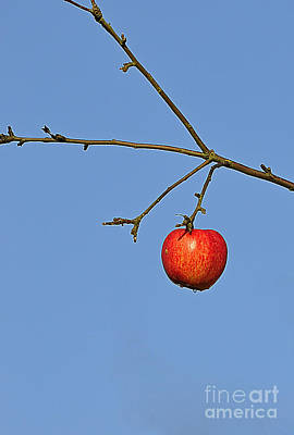 Red Apple Art Print by Conny Sjostrom