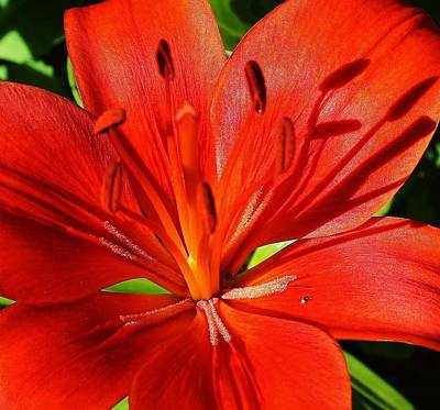 Red Asiatic Lily Art Print by Bruce Bley