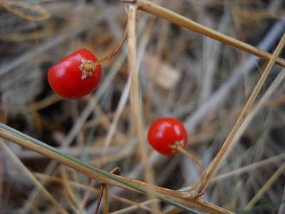 Photograph - Red Asparagus Berries by Kent Lorentzen