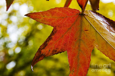 Photograph - Red Autumn Leaf by Jim And Emily Bush