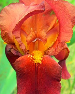 Photograph - Red Bearded Iris by Mark J Seefeldt