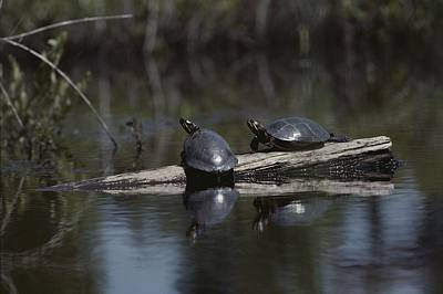 New Jersey Pine Barrens Photograph - Red Bellied Turtles Sun On A Log by Bill Curtsinger