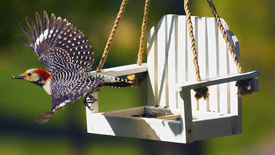 Red Bellied Woodpecker Photograph - Red-bellied Woodpecker In Flight by Bill Tiepelman
