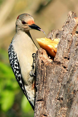 Photograph - Red Bellied Woodpecker by Ira Runyan