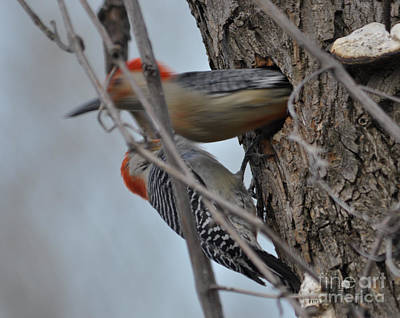 Photograph - Red-bellied Woodpecker Male And Female by Ronald Grogan