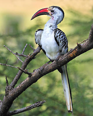 Hornbill Photograph - Red-billed Hornbill by Tony Beck
