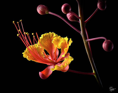 Photograph - Red Bird Of Paradise by Endre Balogh