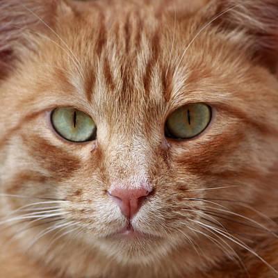 Male Bobcat Photograph - Red Bobcat by Ingrid Blaurock