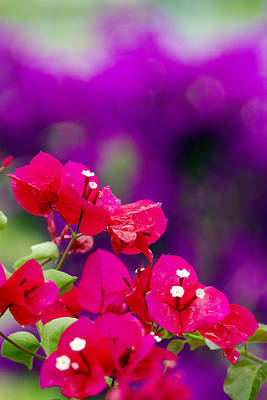 Red Bougainvillaeas Art Print by Ron Dahlquist