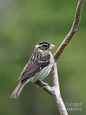 Photograph - Red-breasted Grosbeak by Jack R Brock