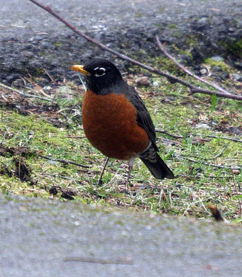 Photograph - Red Brest Robin - 0001 by S and S Photo