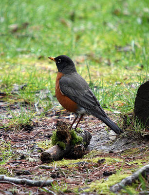 Photograph - Red Brest Robin - 0002 by S and S Photo