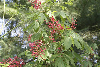 Photograph - Red Buckeye Flowers by Gregory Scott