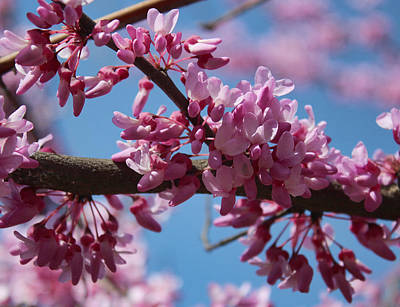 Photograph - Red Bud In Bloom by Kathleen Holley