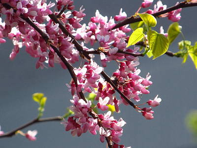 Red Bud In Blooms Art Print by Alfred Ng
