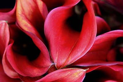 Photograph - Red Calla Lilies by Tony Grider