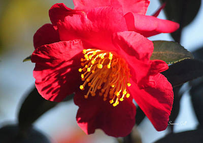 Red Camellia Afternoon Macro Art Print by Suzanne Gaff