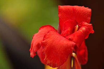 Canna Photograph - Red Canna Lilly by Gene Sherrill