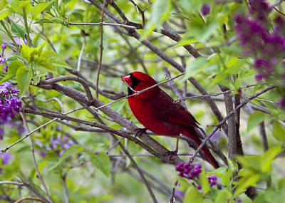 Photograph - Red Carinal In Lilacs by Trudy Wilkerson